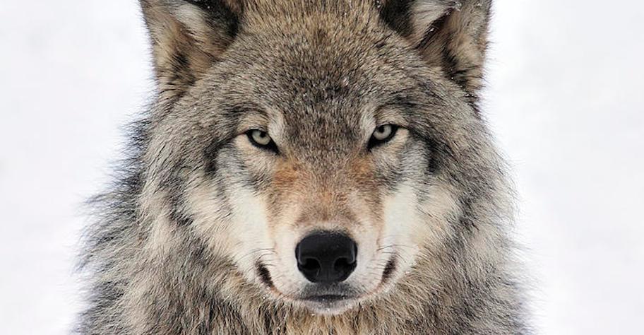 Abbattimento lupi: le critiche al Piano Lupo