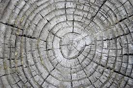 Gli anelli degli alberi svelano un mistero di 1200 anni fa