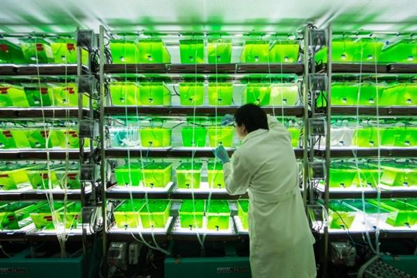 Biocarburanti dalle alghe Kelp e Isochrysis