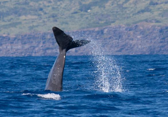 avvistamento cetacei azzorre