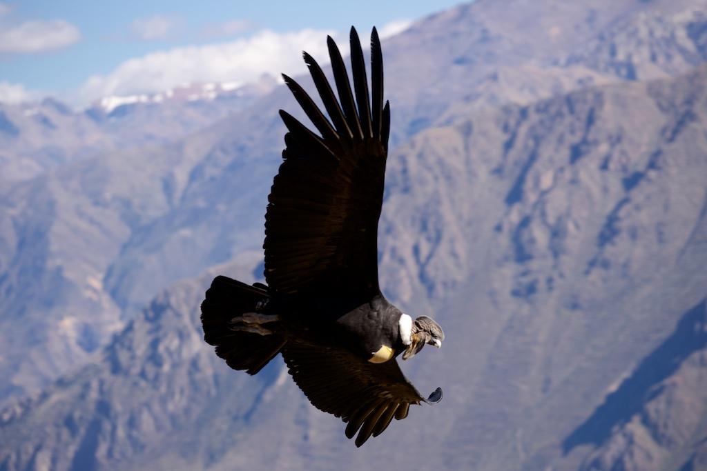 Condor Andini Perù